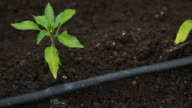 Drip Irrigation System In Garden
