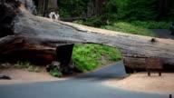 Driving through Tree