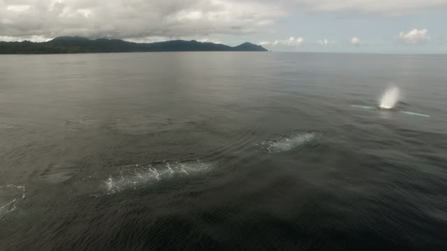 Drone aerial of humpback whales surfacing, off Choco, Colombia, South America