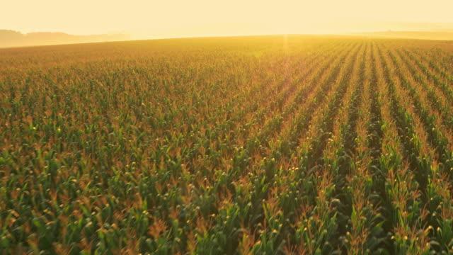 ANTENN drönare flyger över sädesfält på sunrise