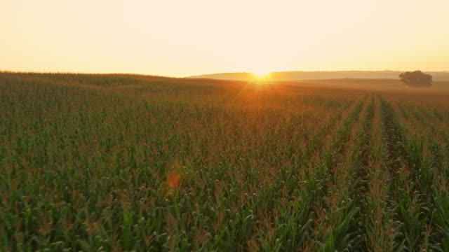 AERIAL Drone flying above field of corn at sunrise