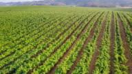 Drone Shot of Northern California Vineyards