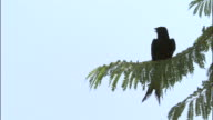 Drongo takes off from branch, Yamnotri, India Available in HD.