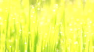 Drop water with bokeh of rice field.