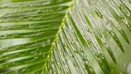 SLO MO Drops of rain falling on a palm leaf