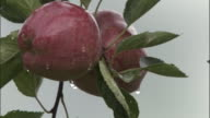 Drops of water hang from apple, Badrinath, India Available in HD.