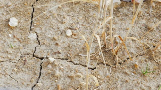 PAN Dürre betroffenen Gerste Feld Nahaufnahme (UHD