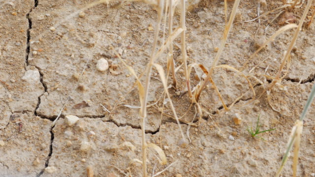 Drought Affected Barley Field Close-up