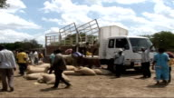 Food distribution / football match / water collection point KENYA EXT Tracking shot of cattle herded along roadside / General views of aid workers...