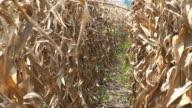 Dry Corn Crop