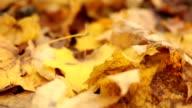 Dry fallen leafs