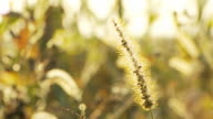 HD DOLLY: Dry Grass Flower At Sunset