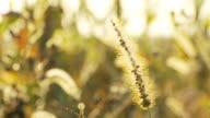 HD DOLLY: Trockenes Gras Blume im Sonnenuntergang