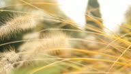 HD DOLLY: Dry Grass Flower