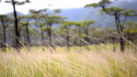 dry grass is behind of Pine tree forest  in Phu Soi Dao National Park