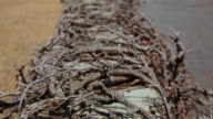Dry tree roots entangle concrete border