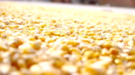 Drying of corn in the field.HD1080