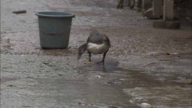 A duck walks along a street and nibbles at rain puddles.