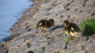 Duckling cleaning its feathers (HD)