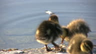 Duckling cleaning its feathers (HD, NTSC, PAL)