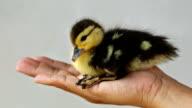 Duckling in hand.