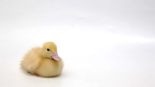 Duckling sitting on white background