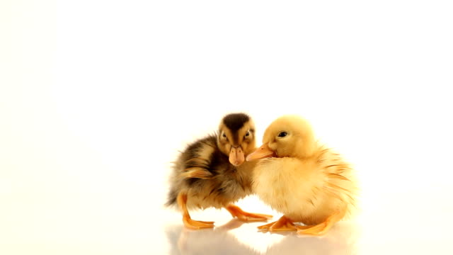 Duckling three days