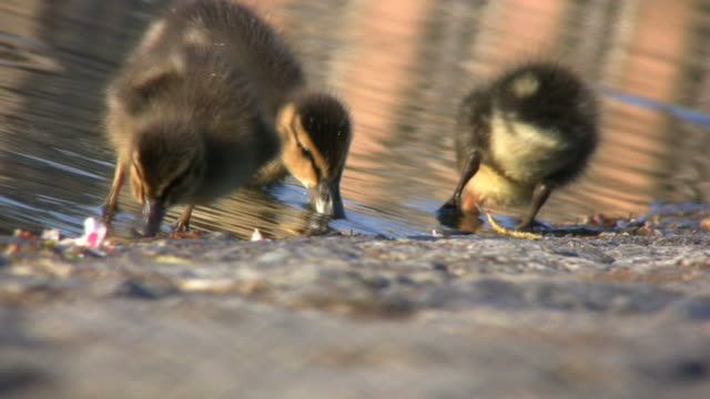 Ducklings at the pond (HD)