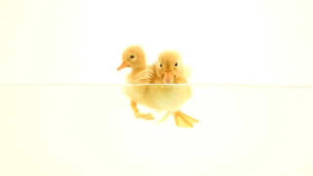 ducklings floating on water