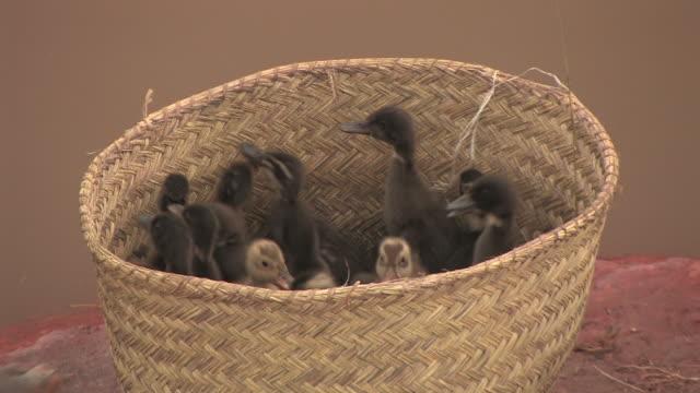 CU, Ducklings in basket, Antananarivo, Toamasina Province, Madagascar