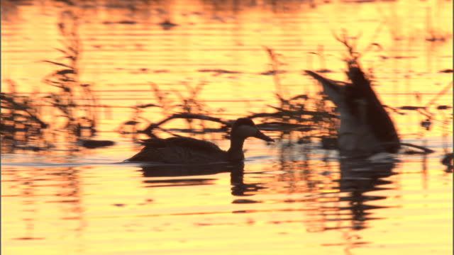 Ducks and geese swim and forage in a marsh as the sun sets.