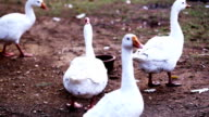 Ducks drinking water