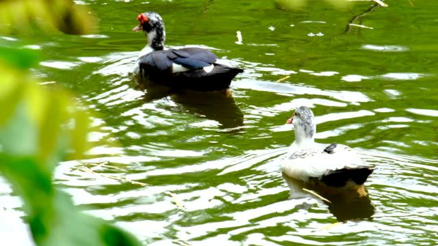 Ducks Feeding In The Pond