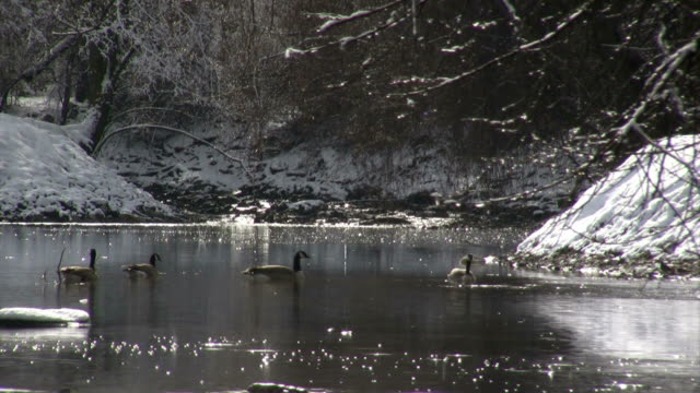 Ducks glide across a snow-banked river in winter as rain falls.