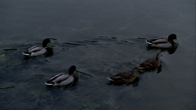 Ducks swim on a river. Available in HD.