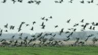 Ducks taking fight - Lake Neusiedl