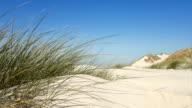 dune grass at coast in wind