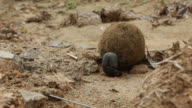 Dung beetles attempt to move a ball of dung.
