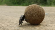 Dung beetles roll a ball of dung along a road.