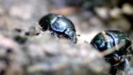 Dung beetles working - Copris genre