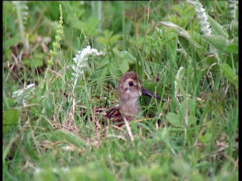 Dunlin sits on nest on ground, spots danger and flies away, Scotland