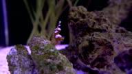 Durban hinge beak shrimp Rhynchocinetes durbanensis