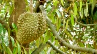 Durian on tree ultra hd