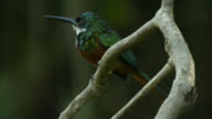 Dusky backed jacamar (Brachygalba salmoni) perched on twig.
