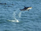 Dusky dolphin MS leaping clearly out of water. Kaikoura, New Zealand