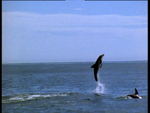 Dusky Dolphin leaps out of water