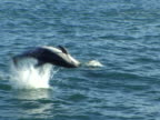 Dusky dolphin MCU cartwheels out of water.