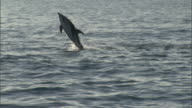 Dusky dolphins (Lagenorynchus obscurus) leap and splash, New Zealand