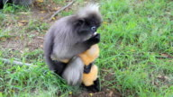 Dusky leaf monkey and baby.
