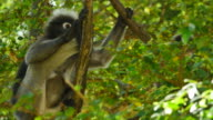 Dusky Leaf Monkey with it's cub on tree.